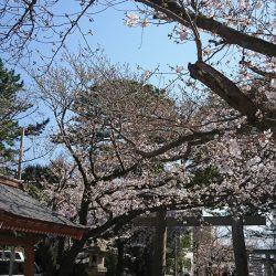 沼津の桜5分咲き
